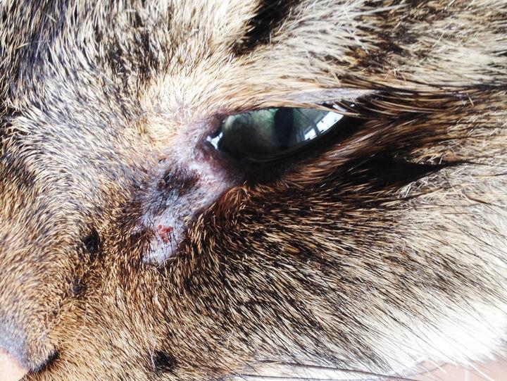rinnande öga katt