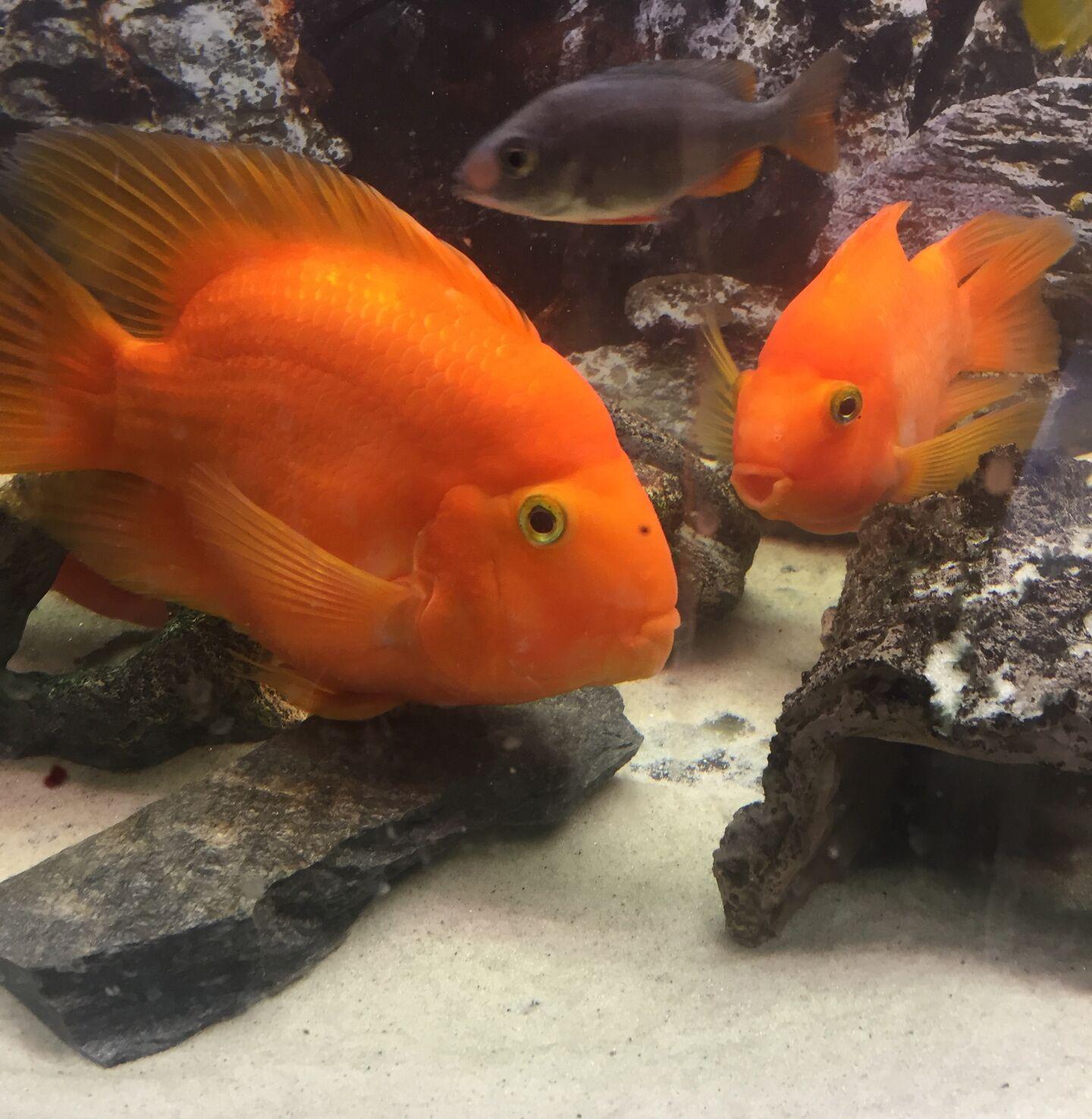 Problem Med Papegojorna Akvariefisk Ifokus